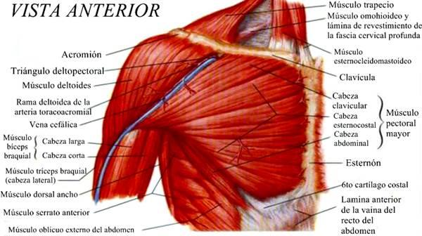 Sistema Muscular y Esquelético: anatomía, fisiología, enfermedades y más