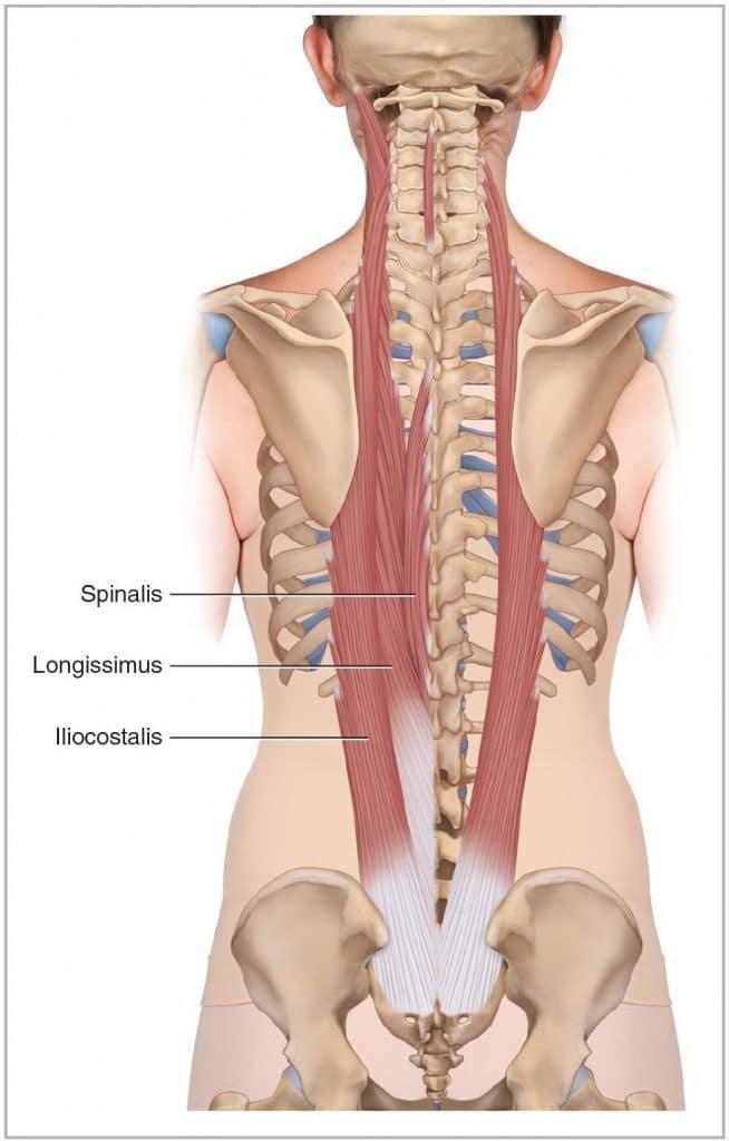 Músculos lumbares: ¿qué son? Anatomía, función, dolor y más