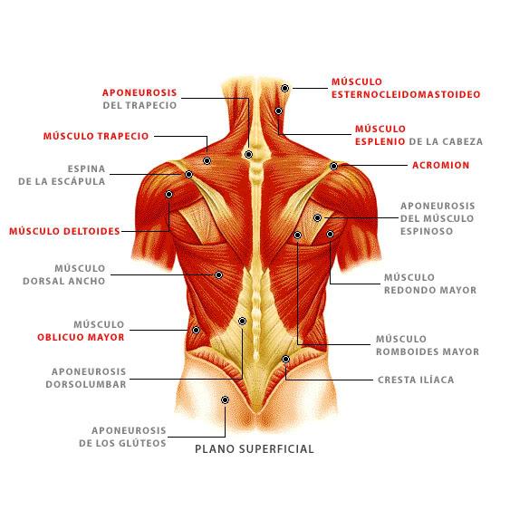 Tendones: ¿qué Son? Anatomía, Función, Lesiones Y Mucho
