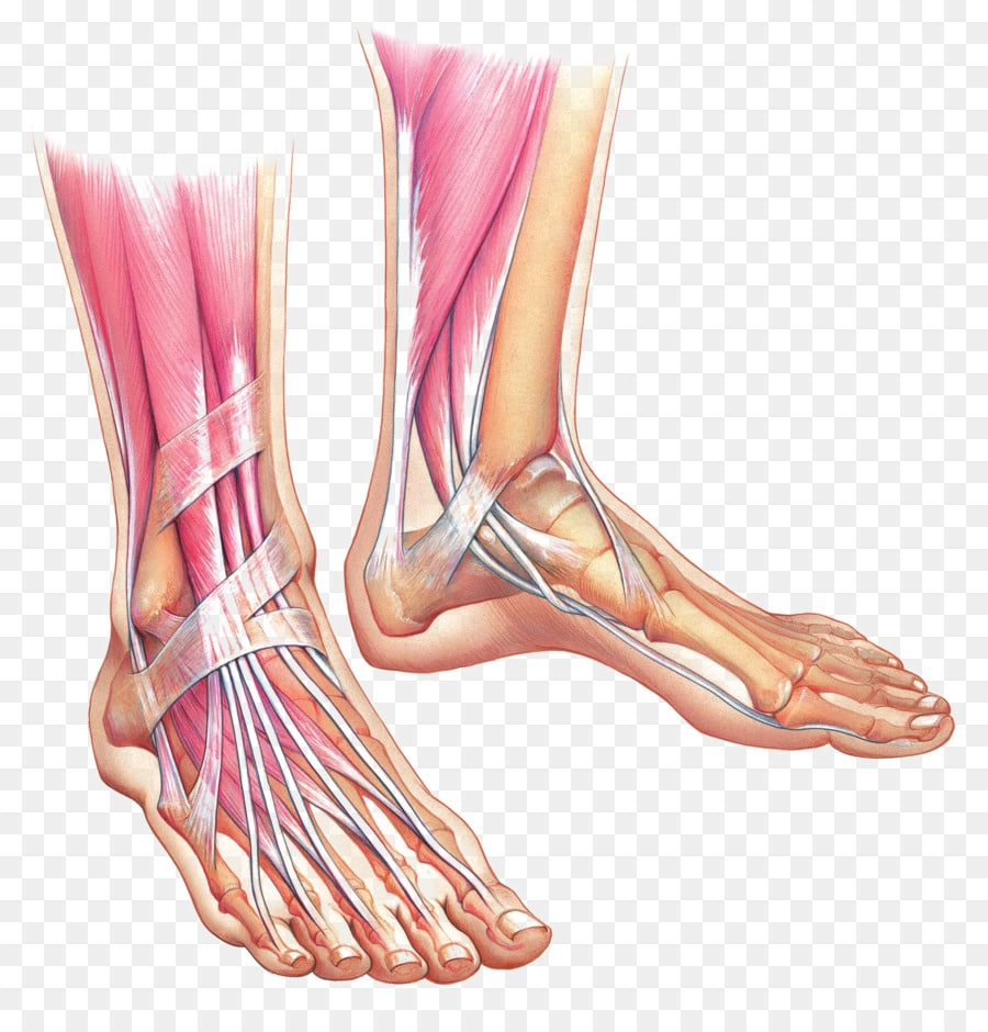 El Tobillo: ¿Qué es? Anatomía, función, partes, dolor y mucho más