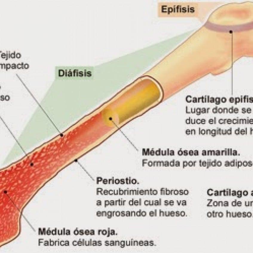 Médula ósea: ¿Qué es? Anatomía, función, fisiología y mucho más