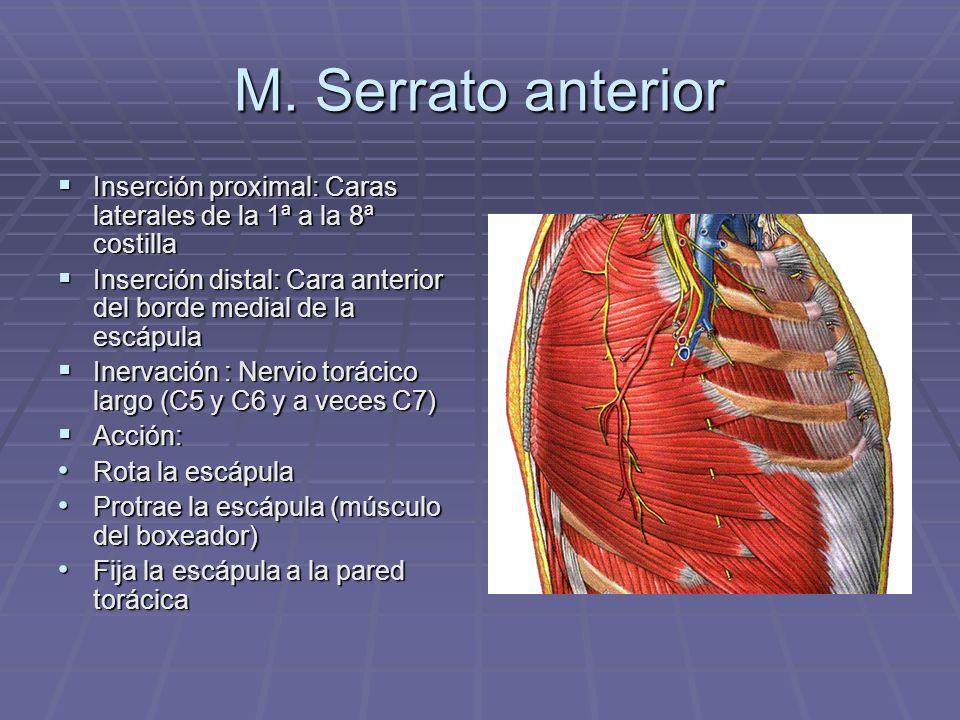 Músculos pectorales: anatomía, función, origen e inserción y más