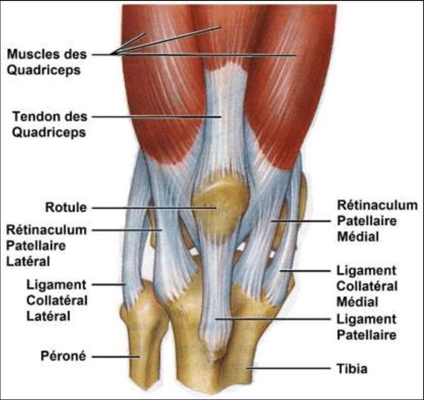 Músculos de la rodilla: funciones, origen e inserción, dolor y más
