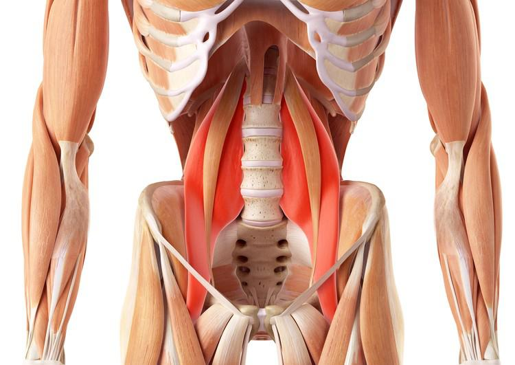 Músculos abdominales: definición, anatomía, función, tipos y mucho más