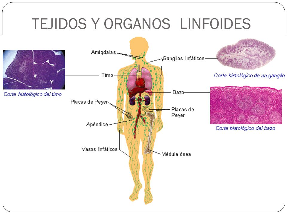 Sistema inmunológico: ¿Qué es? Anatomía, función, fisiología, partes ...