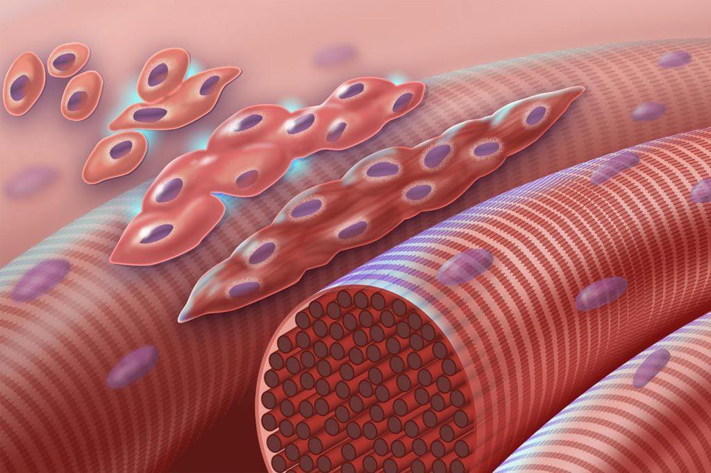 Células musculares: ¿Qué son? Función, tipos, características y más