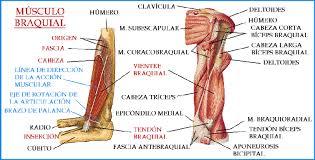 Músculos branquiales