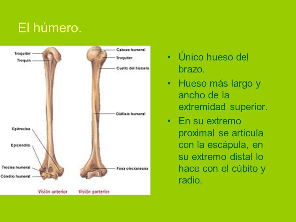Huesos del brazo: anatomía, funciones, dolor y más