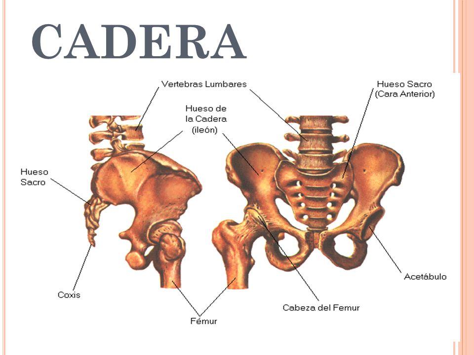 Huesos de la cadera, nombres, anatomía, partes, función y más