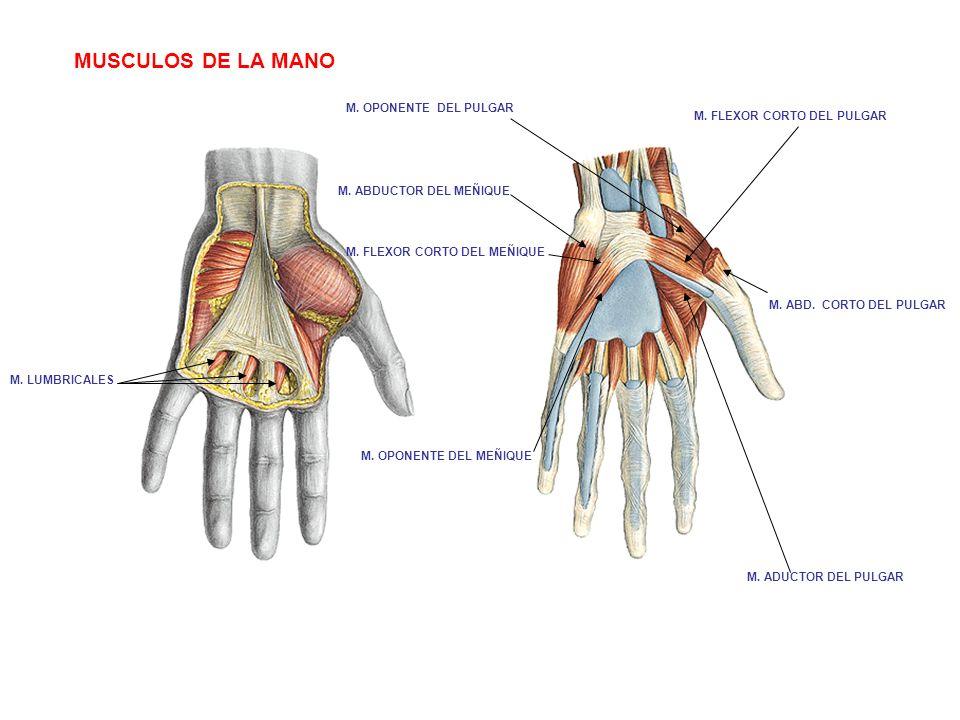 Músculos supinadores: ¿qué son? Largo y cortos, del pie y máno