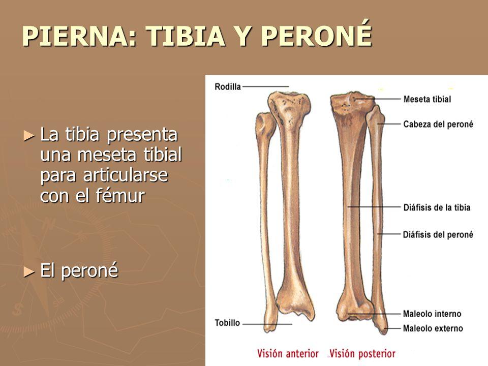 Huesos de la pierna: funciones, partes, nombres y más