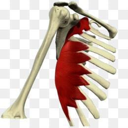 Músculo serrato: anterior, mayor, posterior y todo lo que debes saber