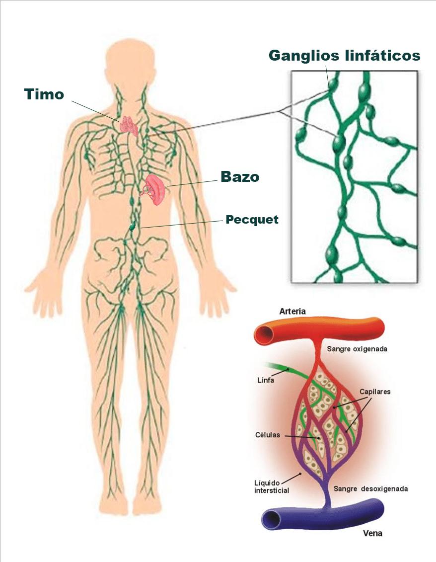 Ubicación de los ganglios linfáticos: función, características y más