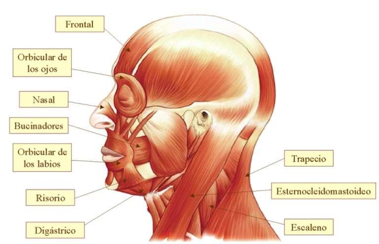 Músculos de la Cabeza: Concepto, anatomía, funciones y mucho más