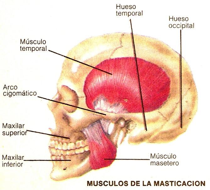 Músculos Masticatorios: anatomía, función, origen e inserción y más