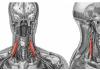 Músculos escalenos: origen e inserción, dolor, inflamados y más