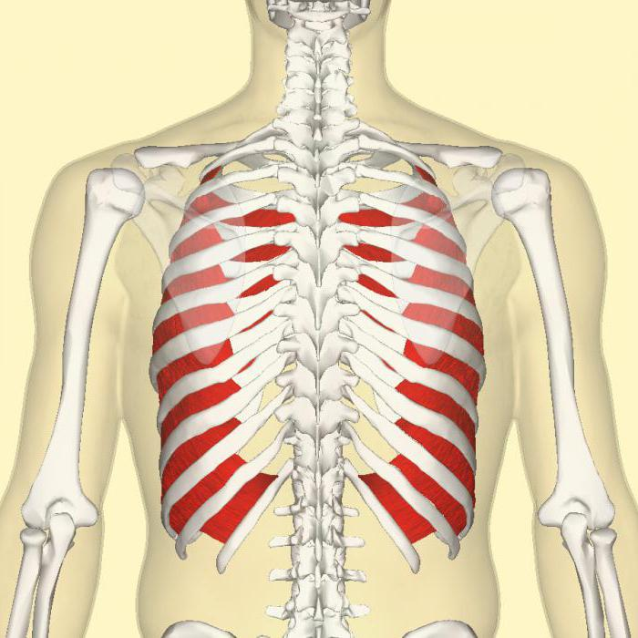 Músculos Intercostales: Definición, función, origen e inserción y más