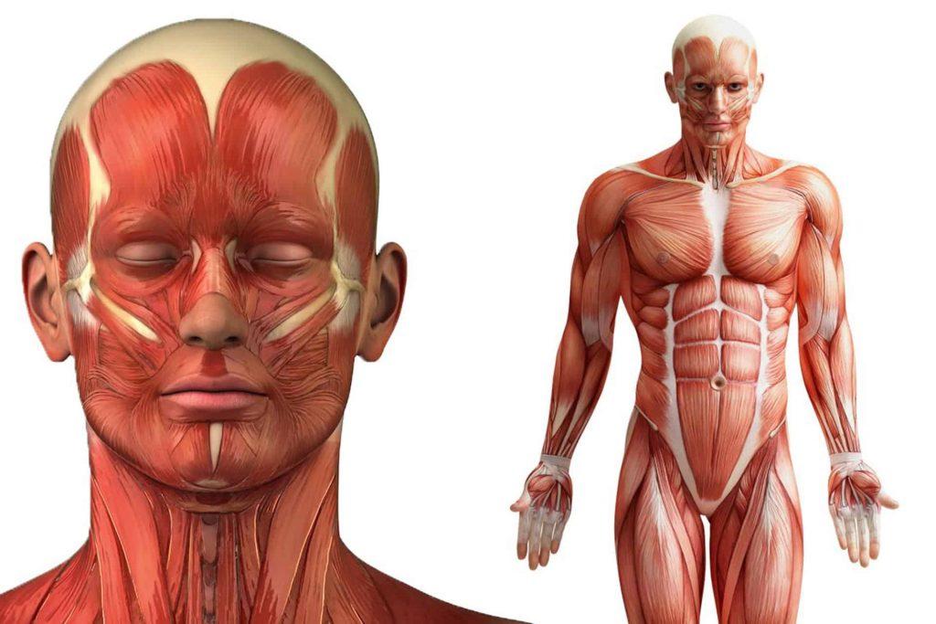 Conozca todos sobre las partes del sistema muscular