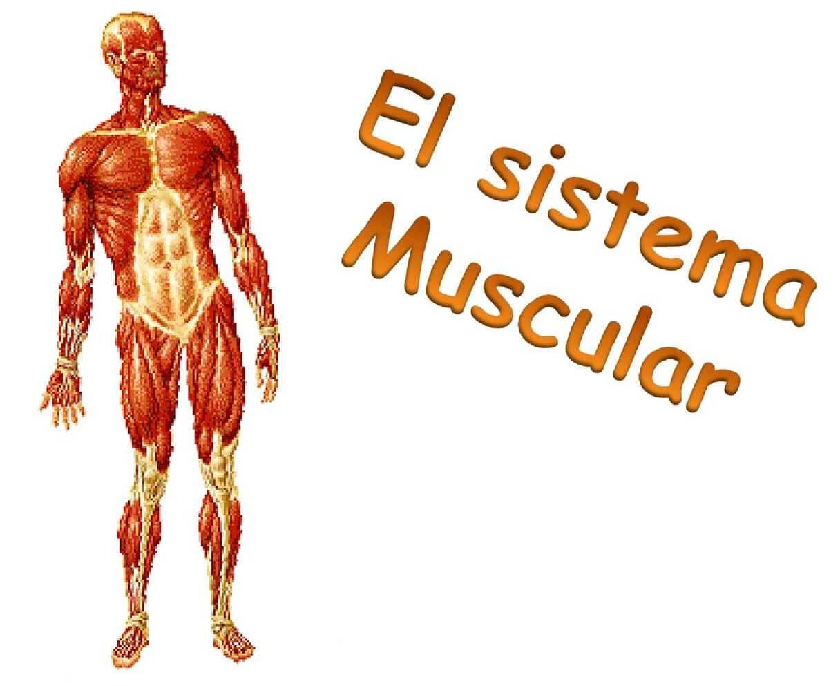 Conoce todo sobre la Función del sistema muscular