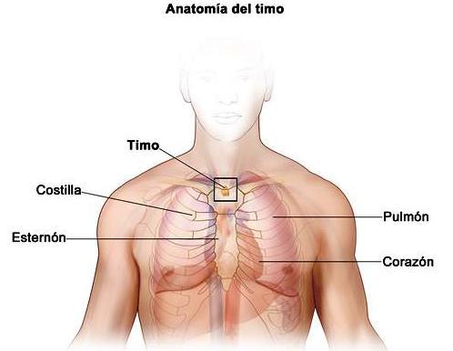 Timo: Definición, anatomía, función, fisiología y más