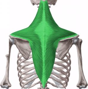 Músculo trapecio: definición, anatomía, función y más