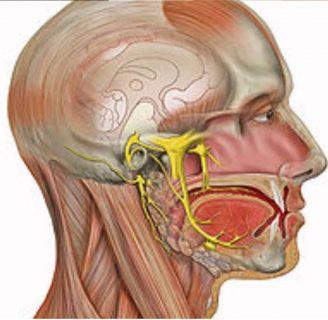 Nervio Auditivo ¿qué es?, función, enfermedades, implantes y más