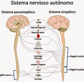 Sistema Nervioso Autónomo ¿qué es?, función, simpático y parasimpático, fisiología y más
