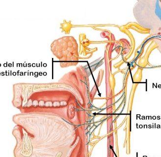 Nervio Glosofaríngeo ¿qué es?, función, lesiones, patologías y más