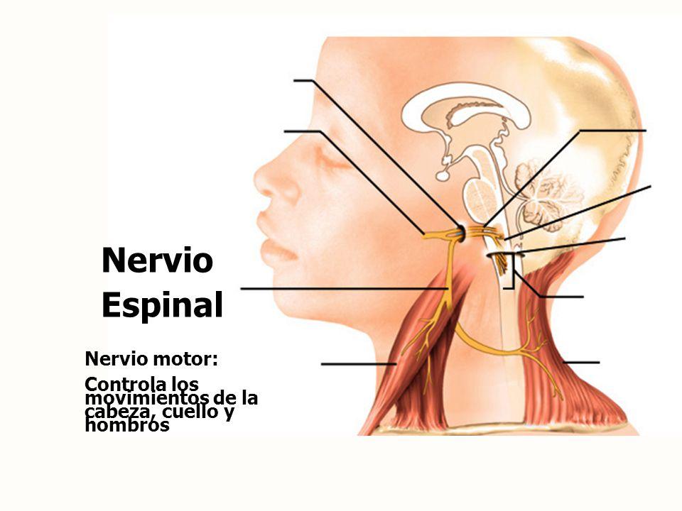 el nervio espinal