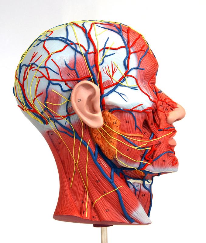 nervio vascular