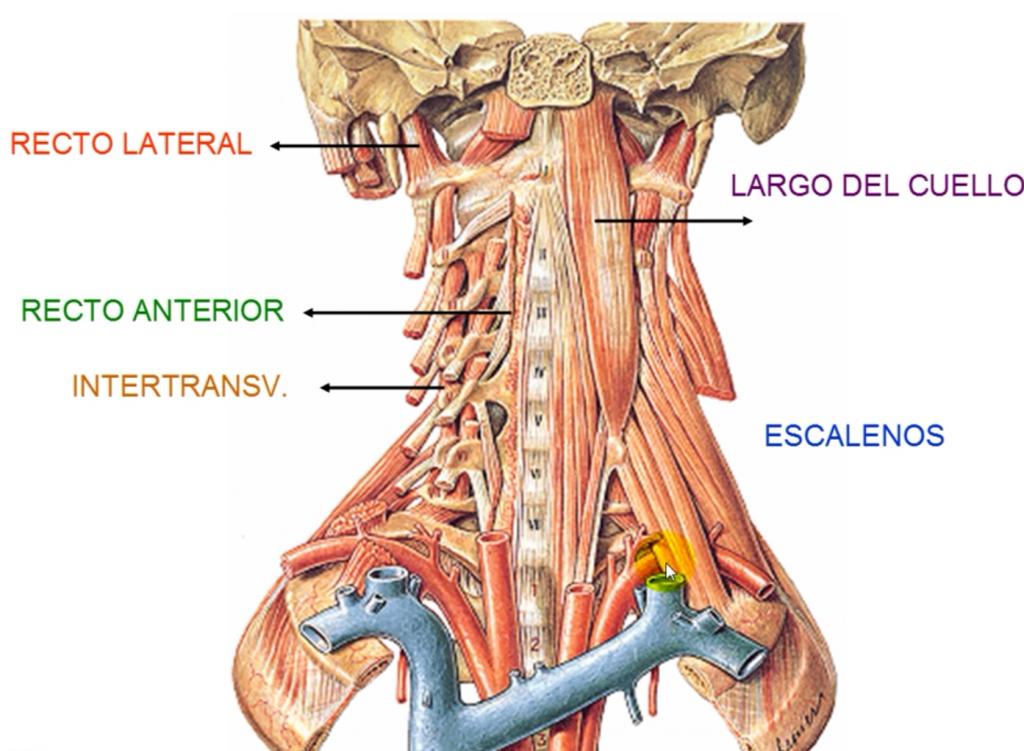 ramo cutáneo del cuello