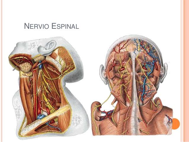 Anatomía del Nervio Espinal
