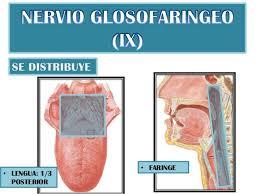 ¿ Cual es la función del Nervio Glosofaríngeo ?