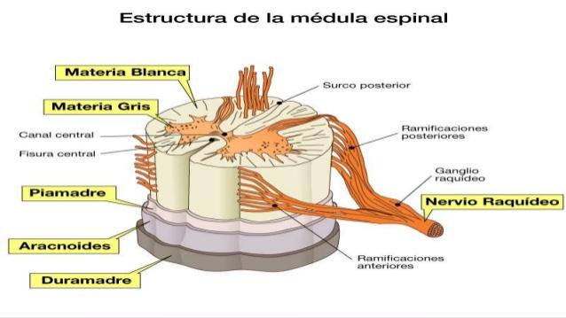 médula espinal 3