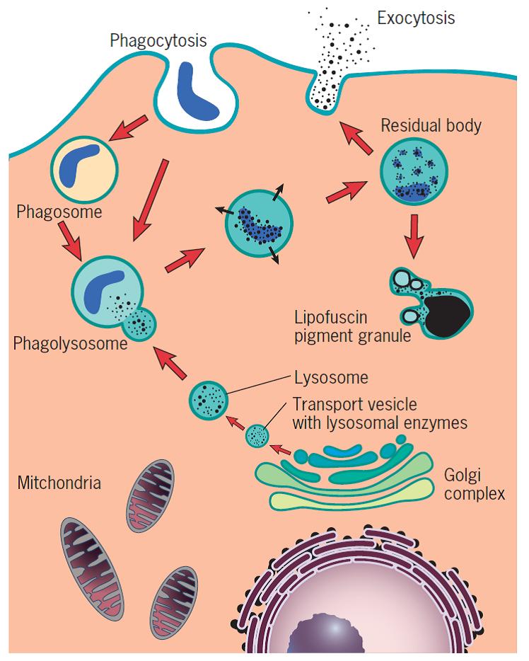 Microglía