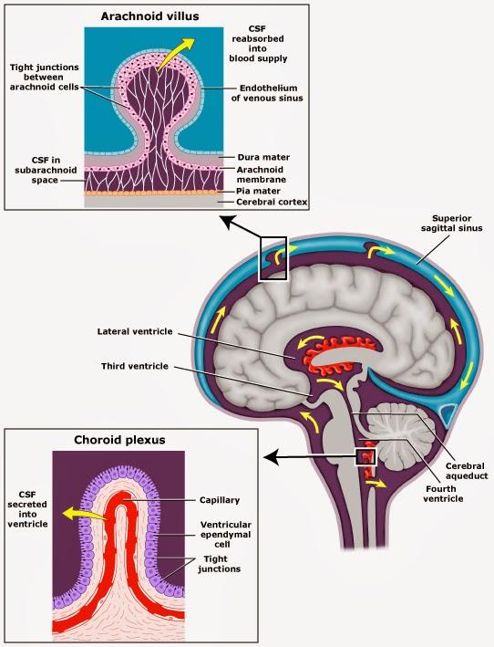 células ependimarias