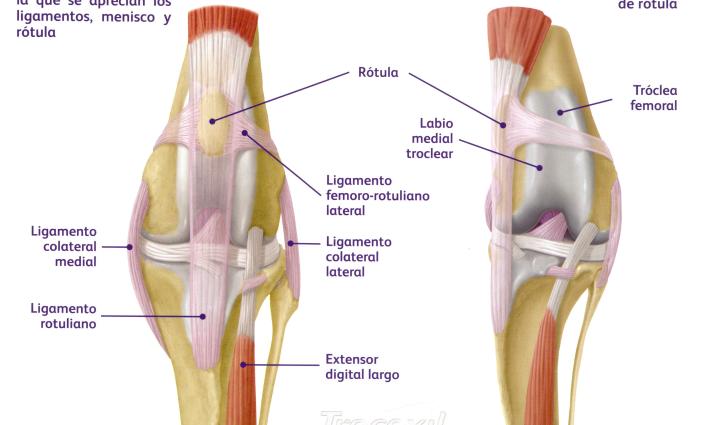 Articulación De La Rodilla Anatomía Función Tipo Partes