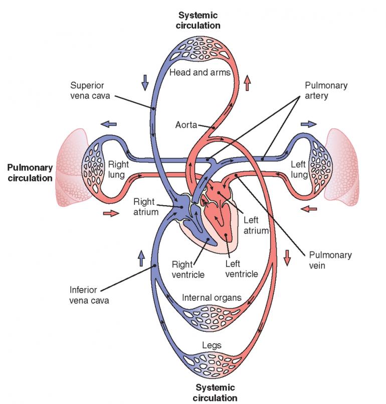 Sistema circulatorio cerrado