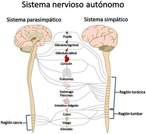 Relación entre el sistema nervioso somático y el autónomo