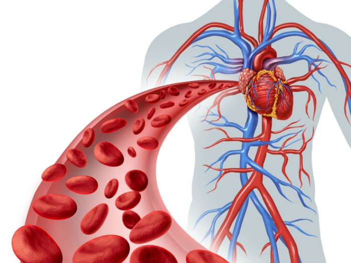Circuito Circulatorio : Aprenda todo sobre los órganos del sistema circulatorio
