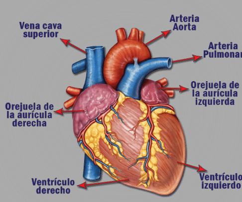 el corazón ¿qué es importancia función anatomía y