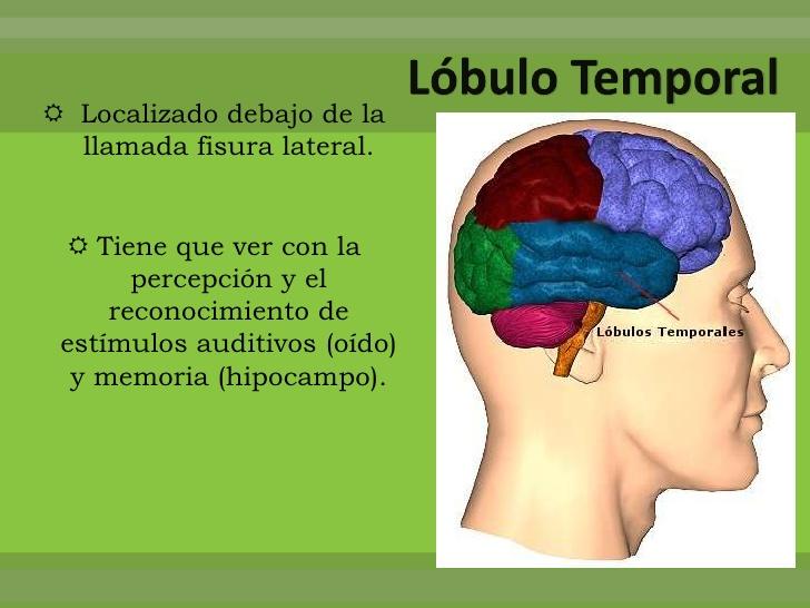 Lóbulo Temporal Funciones Lesiones Síntomas Causas Tratamientos