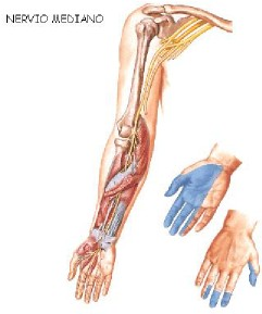 Nervio mediano 2