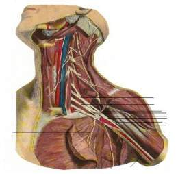 Nervio mediano 8