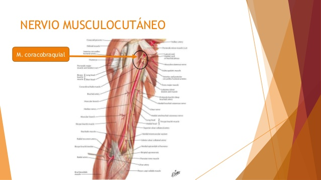 Nervio musculocutáneo 1