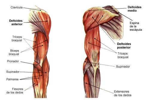 Nervio musculocutáneo 3