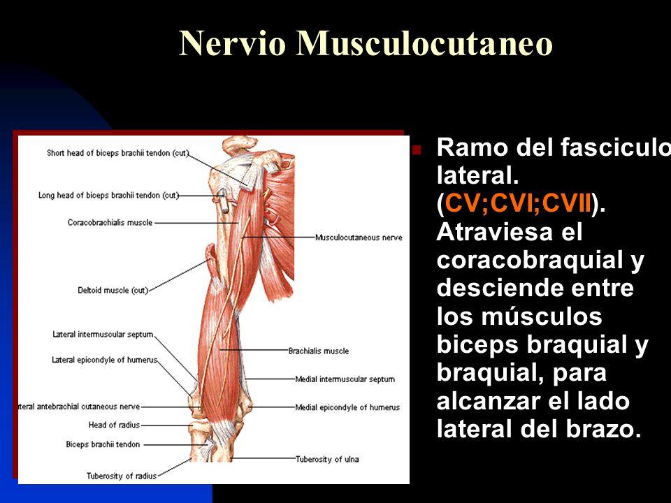 Nervio musculocutáneo 7