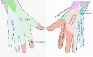 Nervio radial 3
