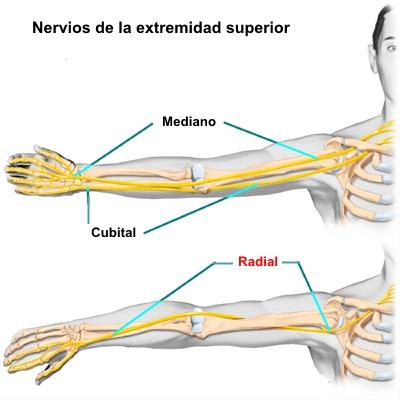 Nervio radial 1