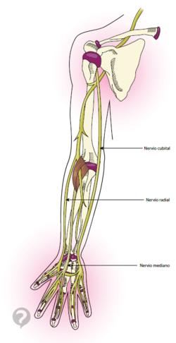 Nervio radial 6